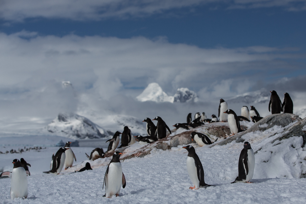 One Adelie Penguin among a Gentoo colony