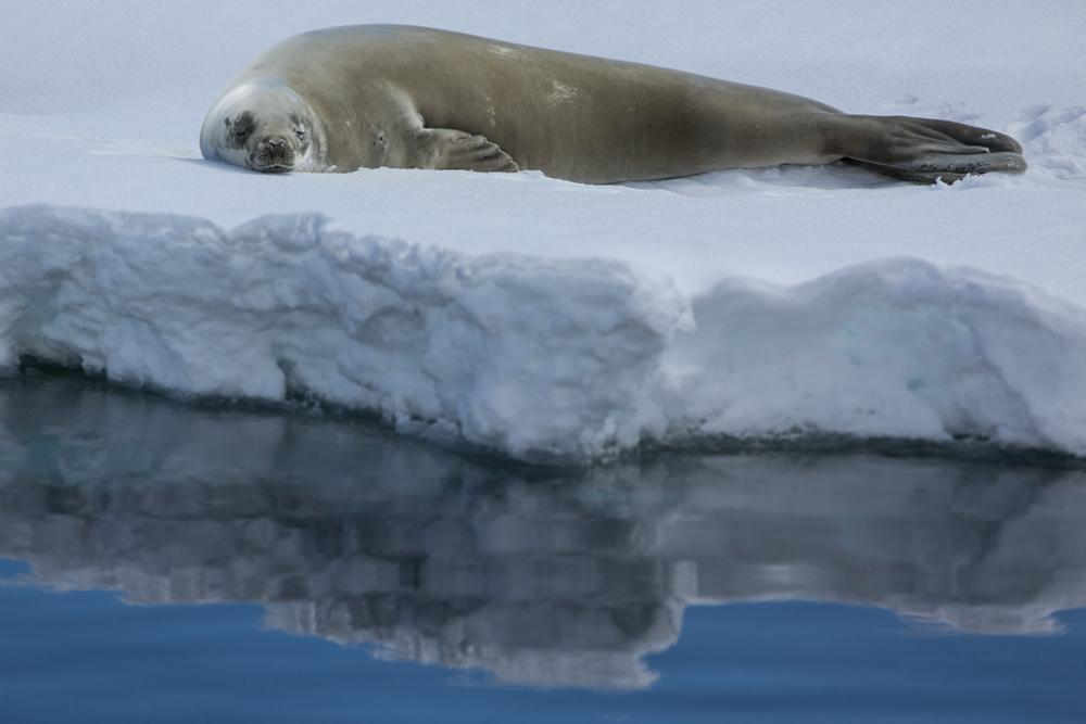 Seal lying on ice floe