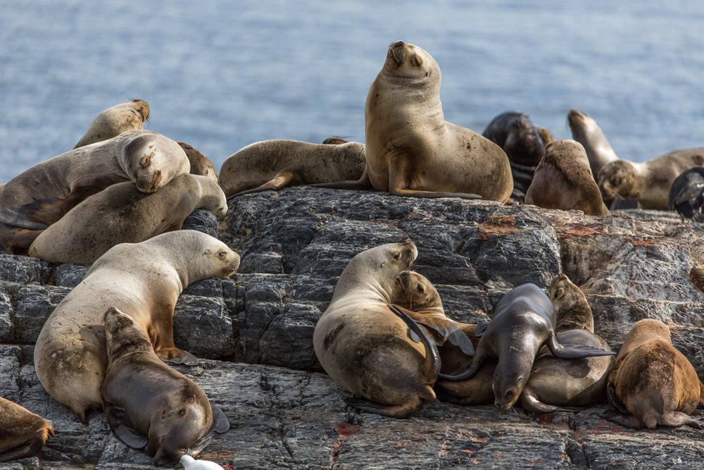 Colony of seals near Ushuaia