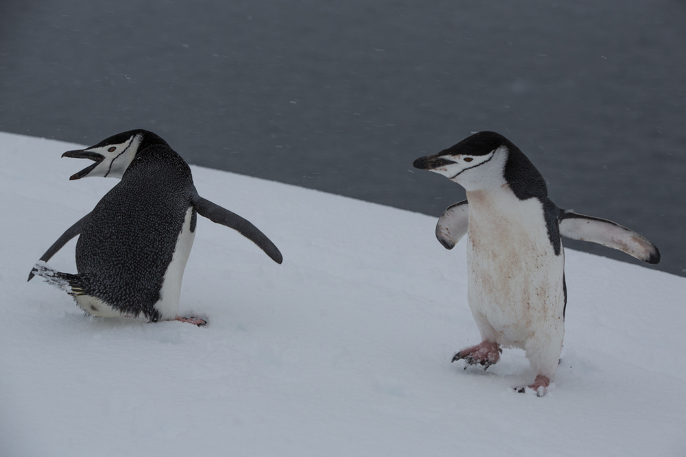 Encounter of two Chinstrap Penguins
