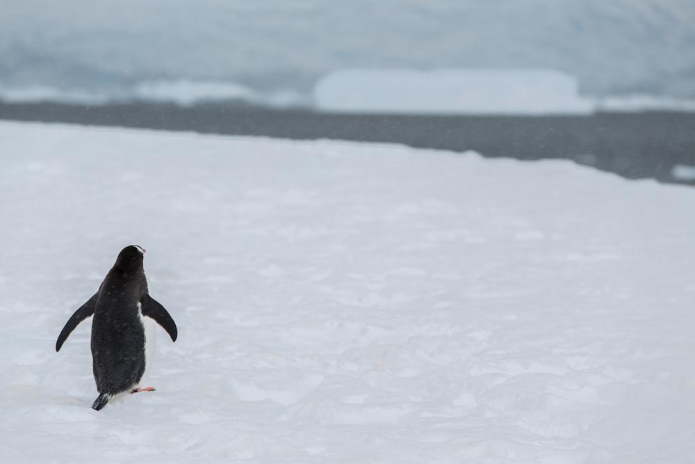 Single Gentoo Penguin