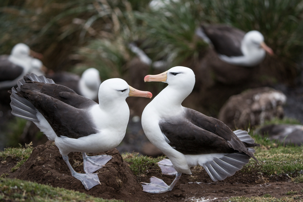 Courting King Albatrosses