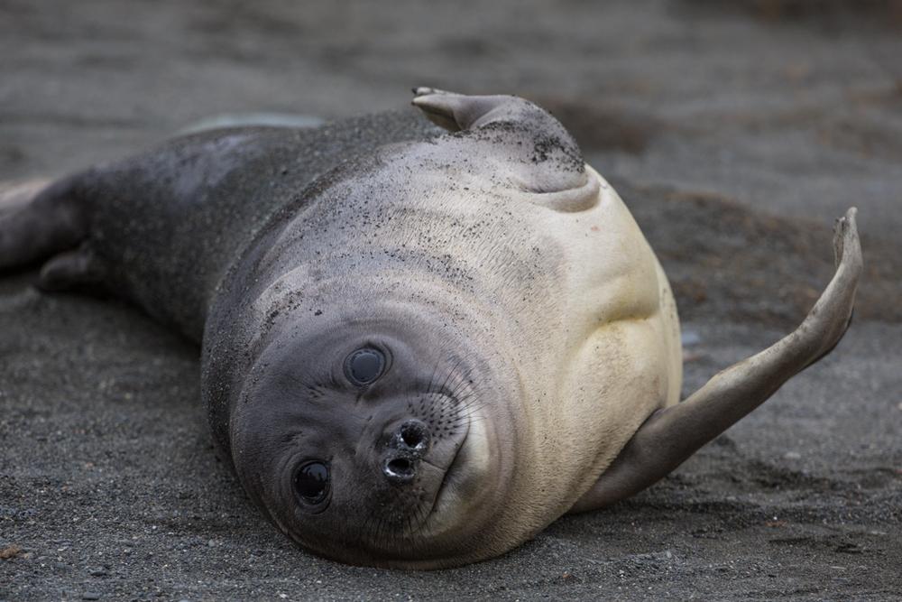 Playful, little seal