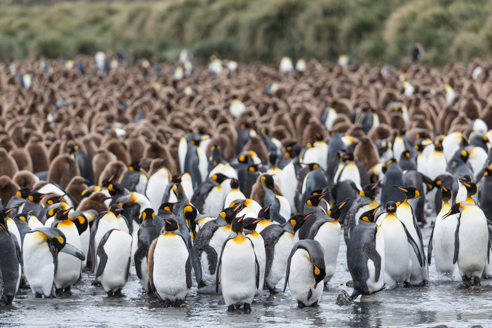 Huge colony of King Penguins
