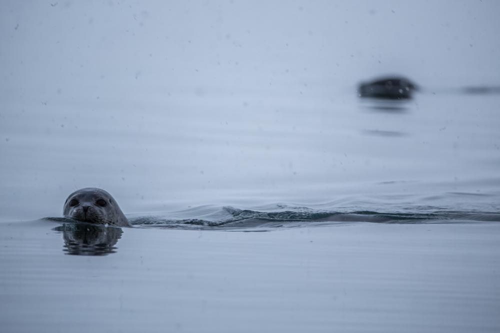 Two seals on Jökulsarlon