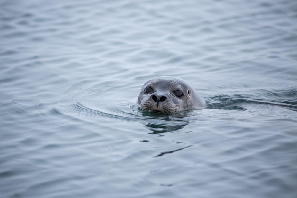 Curious seal in Jökulsarlon