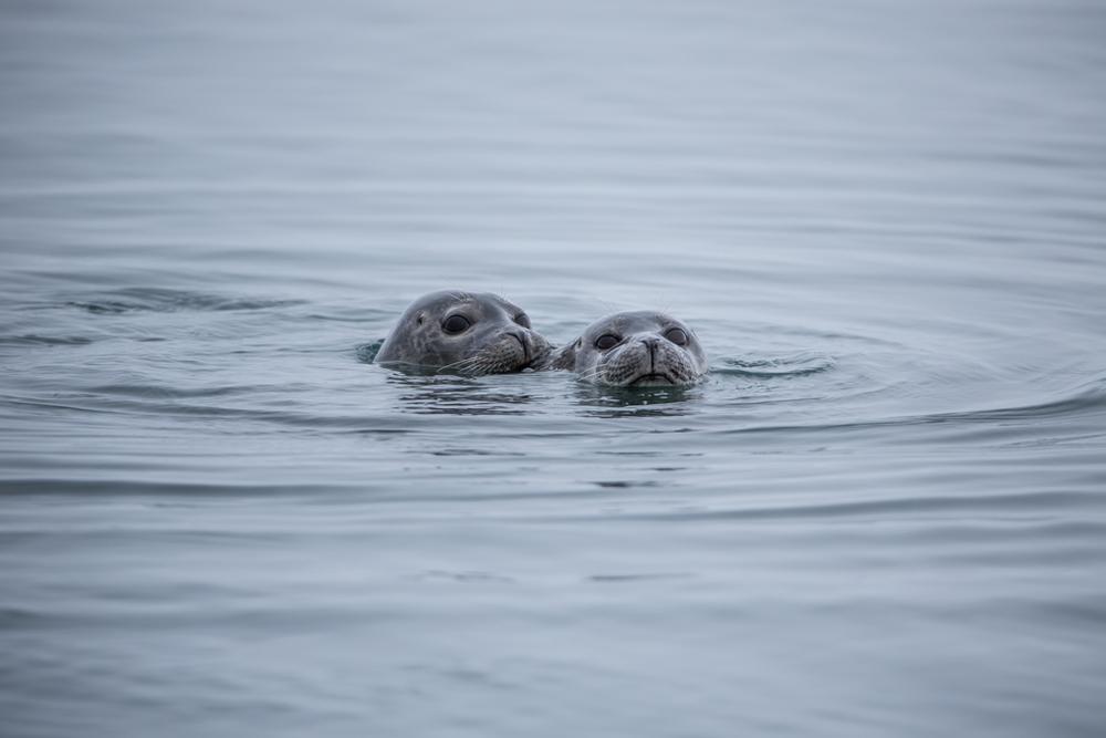 Playing seals in Jökulsarlon