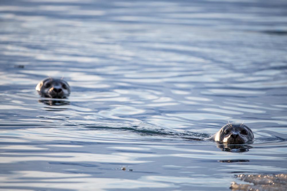 Two curious seals on Jökulsarlon