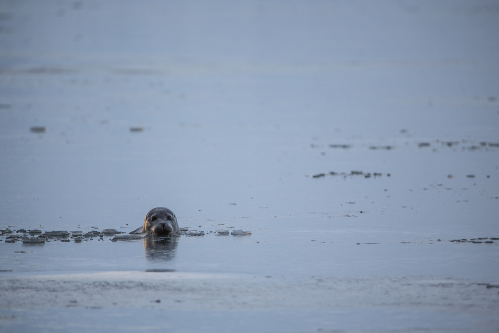 Seal breaking through the ice