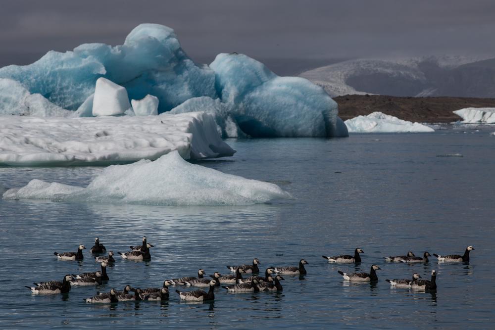 Duck family on Jökulsarlon