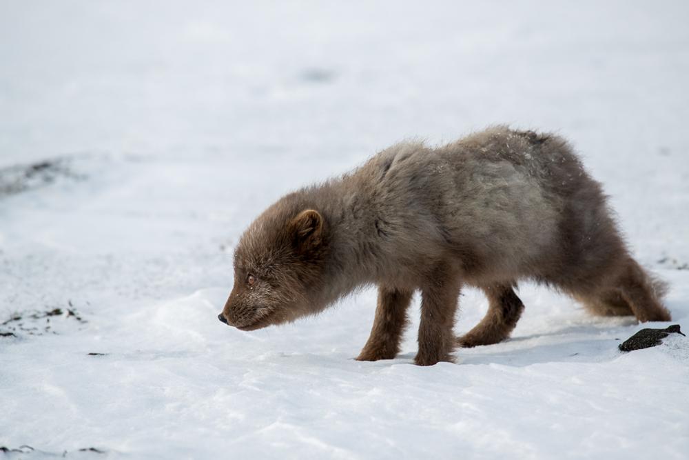 Foxes_266.jpg