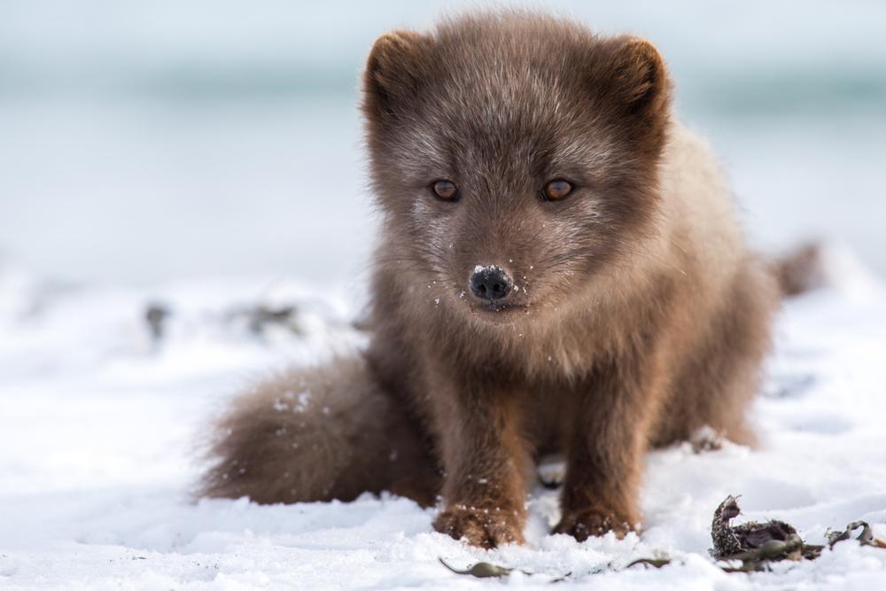 Cute arctic fox in winter in Hornstrandir