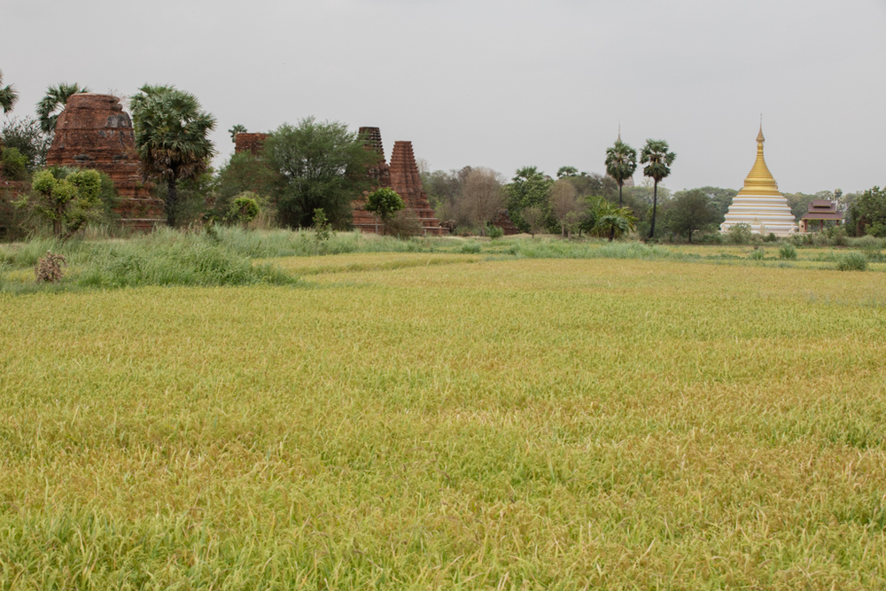 Green fields in Inwa