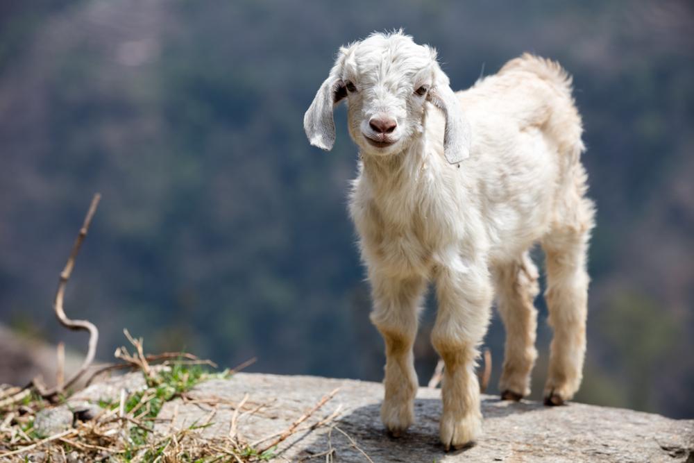 Sheep high above Kenja