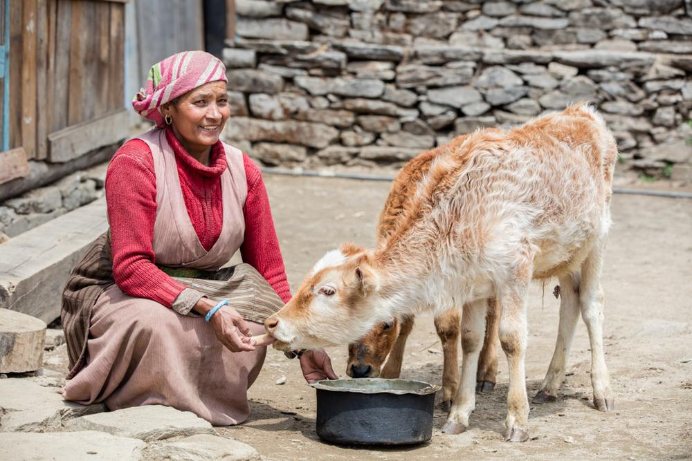 Woman feeding little cow