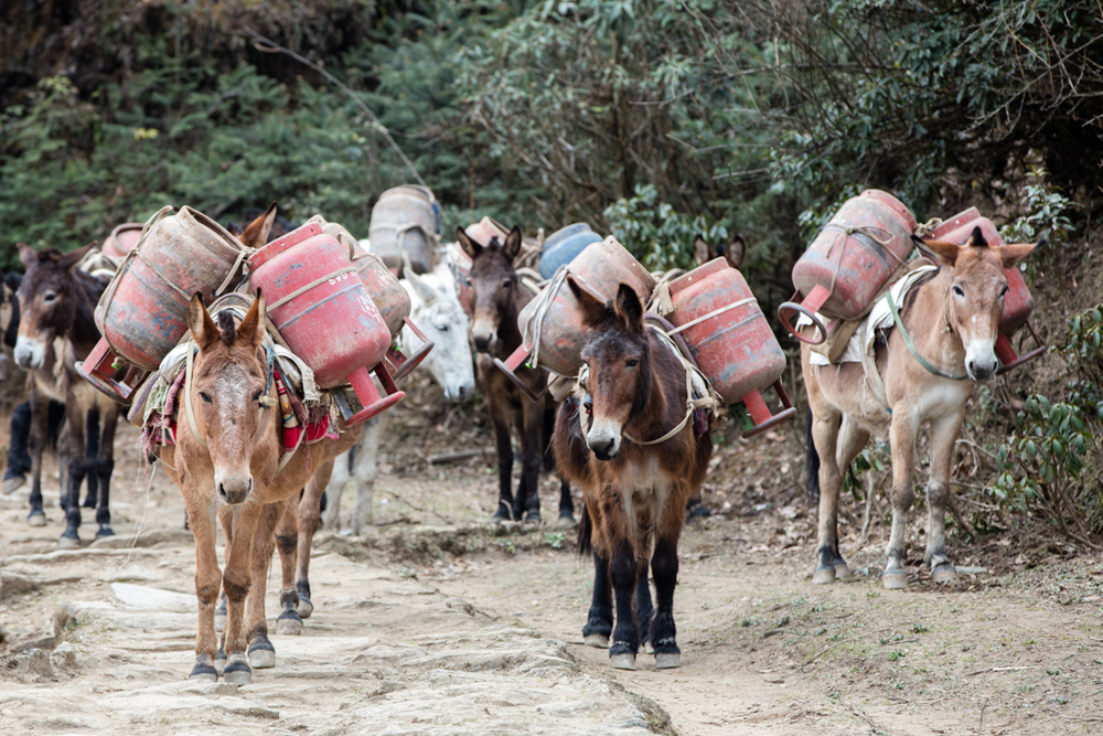 Mules with heavy loads
