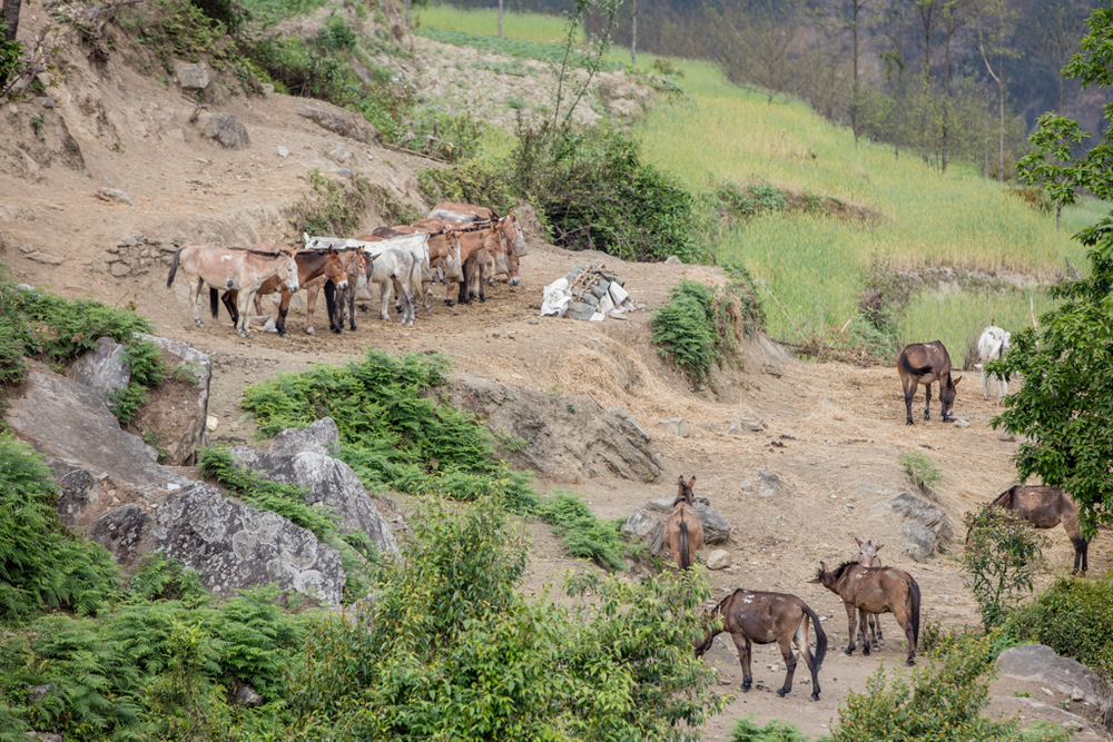 Break for group of mules