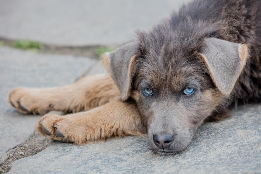 Nepalese dog with blue eyes