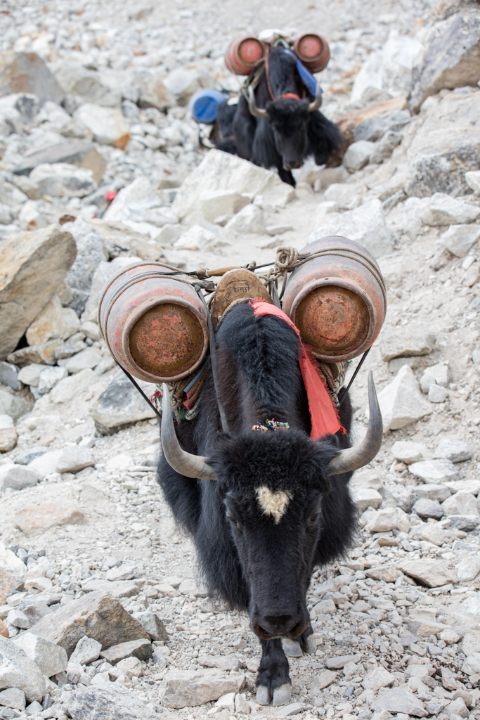 Yaks transporting heavy loads