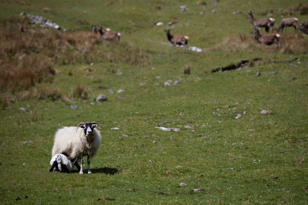 Sheep with baby in Scotland