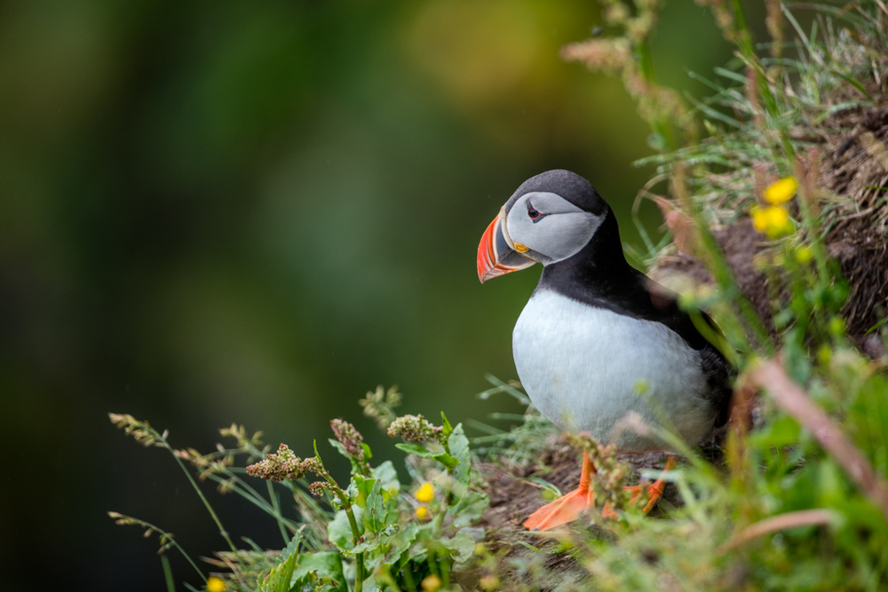 The puffins of Vik (2016)