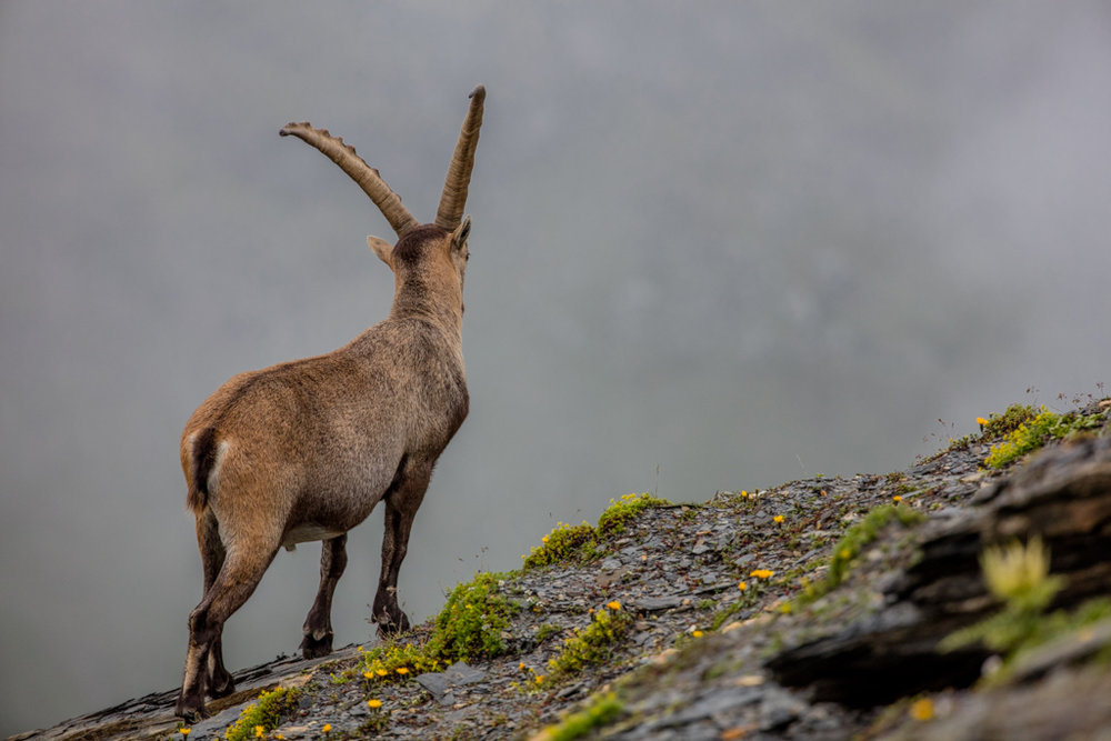 Alpine ibexes in Glarner Land 2016