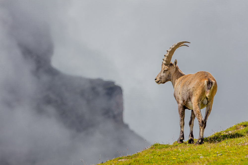 Alpine Ibex in Glarner Land (2016)