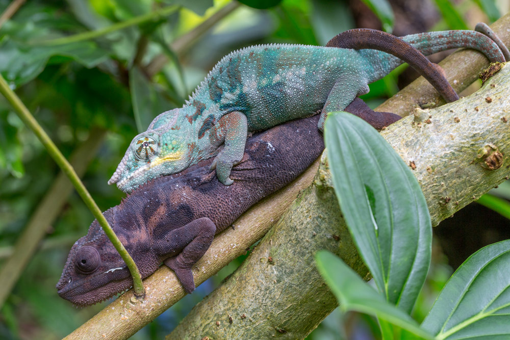 Coupling Panther Chameleons
