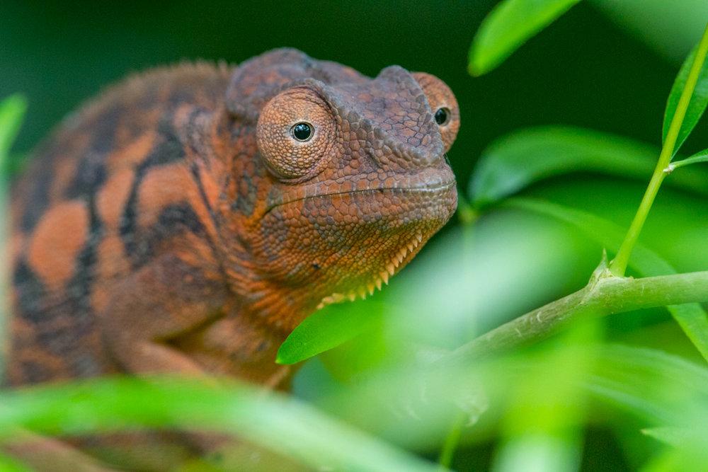Female Panther Chameleon