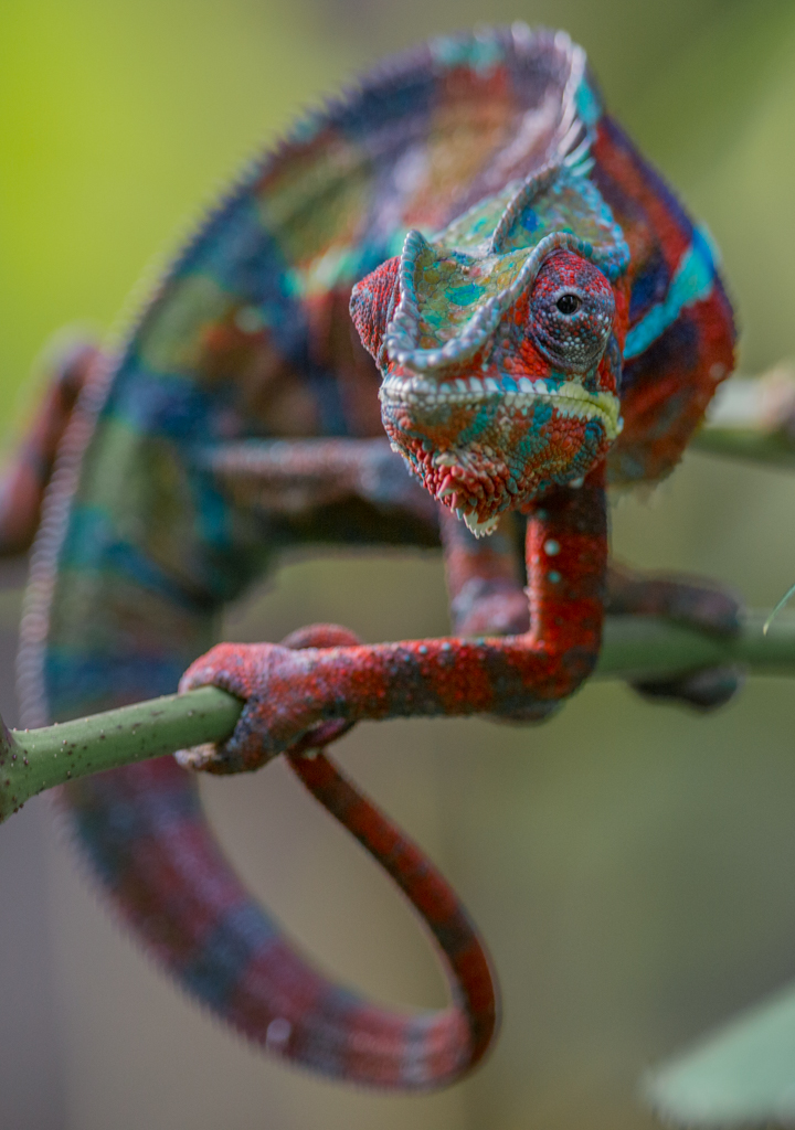 Red, male Panther chameleon