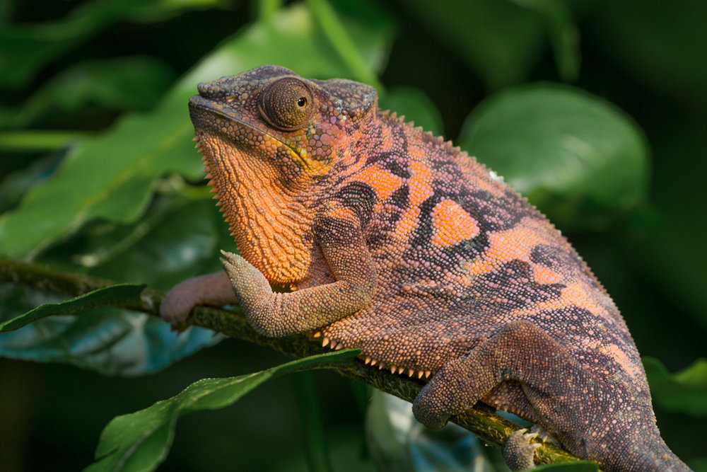 Female chameleon in warm light