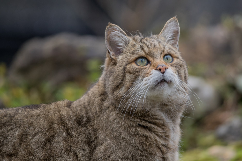 Wildcat from wildlife park Goldau in Switzerland