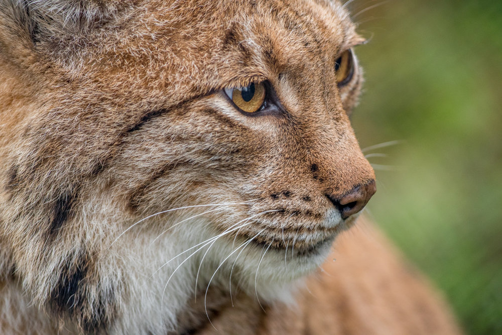 Lynx from wildlife park Goldau in Switzerland