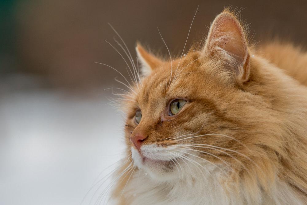 Stray cat in Suzdal in winter season