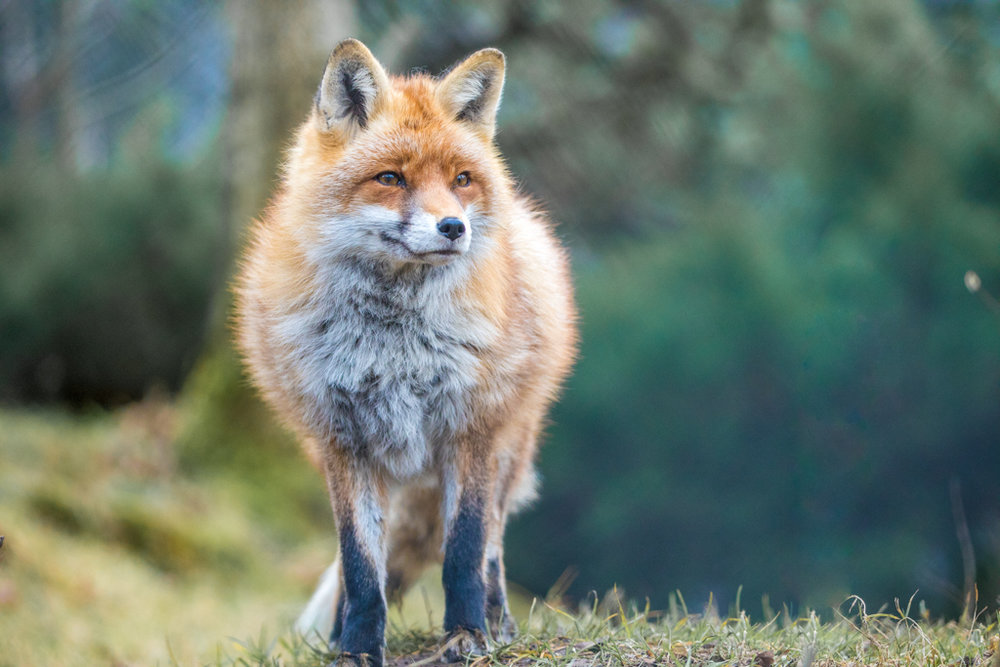 Red Fox from wildlife park Goldau in Switzerland