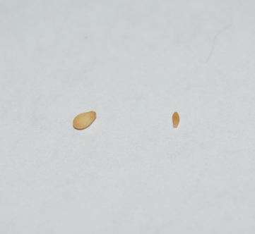 On the left is a roasted sesame seed, on the right is a tapeworm segment (proglottid).