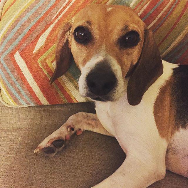 Stop it with the cuteness! #crazymaisy #rescuedismyfavoritebreed #beaglesofinstagram #fureverhome