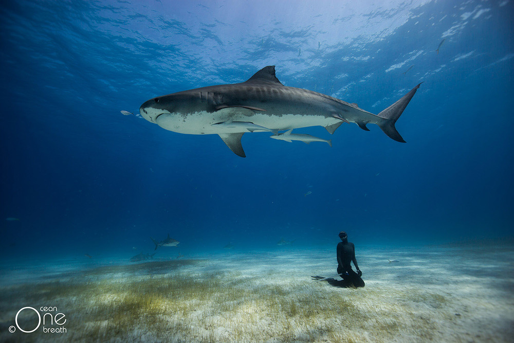 Freediving with Tiger Sharks, Freediving Photography & Adventure Photography