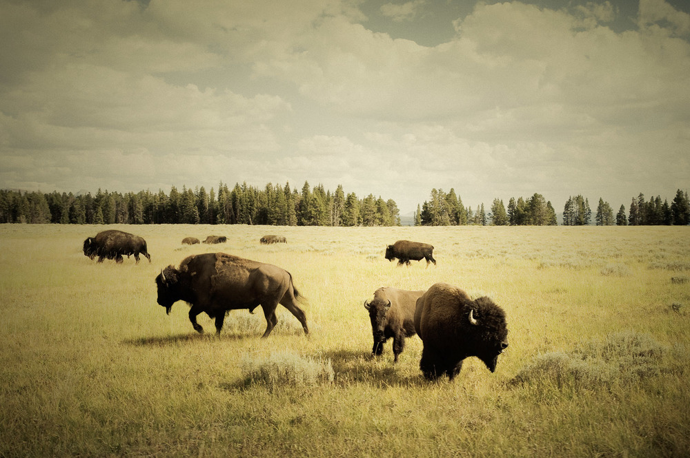 Buffalo, Yellowstone National Park, Wyoming