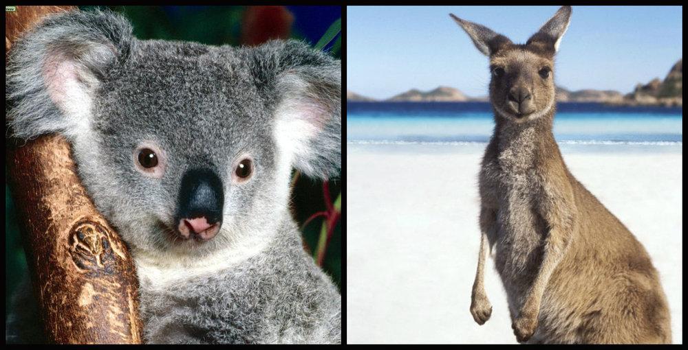 Koala e Canguru fofinhos!