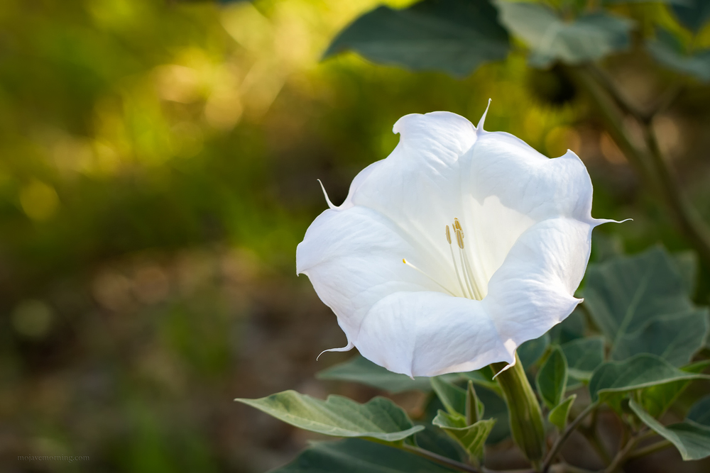 Datura, also know as loco weed or jimson weed