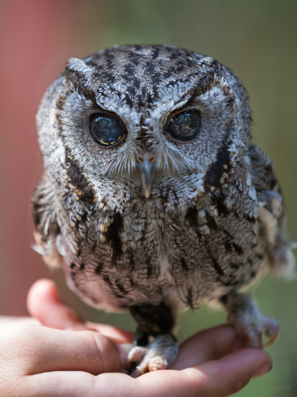 Did you know screech owls are cute as buttons? Not so cute to field mice, I'm sure. The speckles in his eyes are not reflections of something outside, this is how his eyes appear, and part of the symptoms of his blindness.