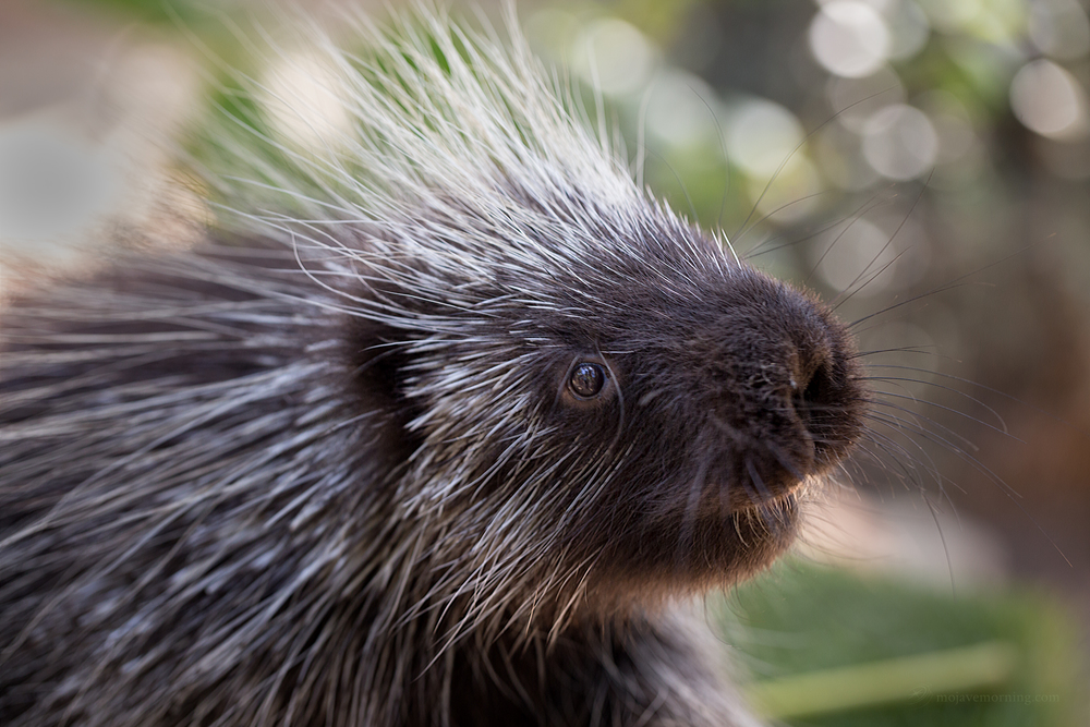 A heart-melting porcupine.