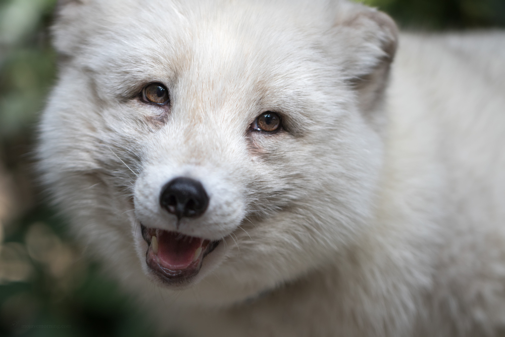 Arctic fox. Rescued from a fur farm.