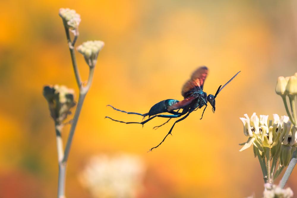 A tarantula hawk flits from flower to flower. While the females lay their eggs in living tarantulas for their larvae to devour later, the males prefer to eat milkweed flowers.