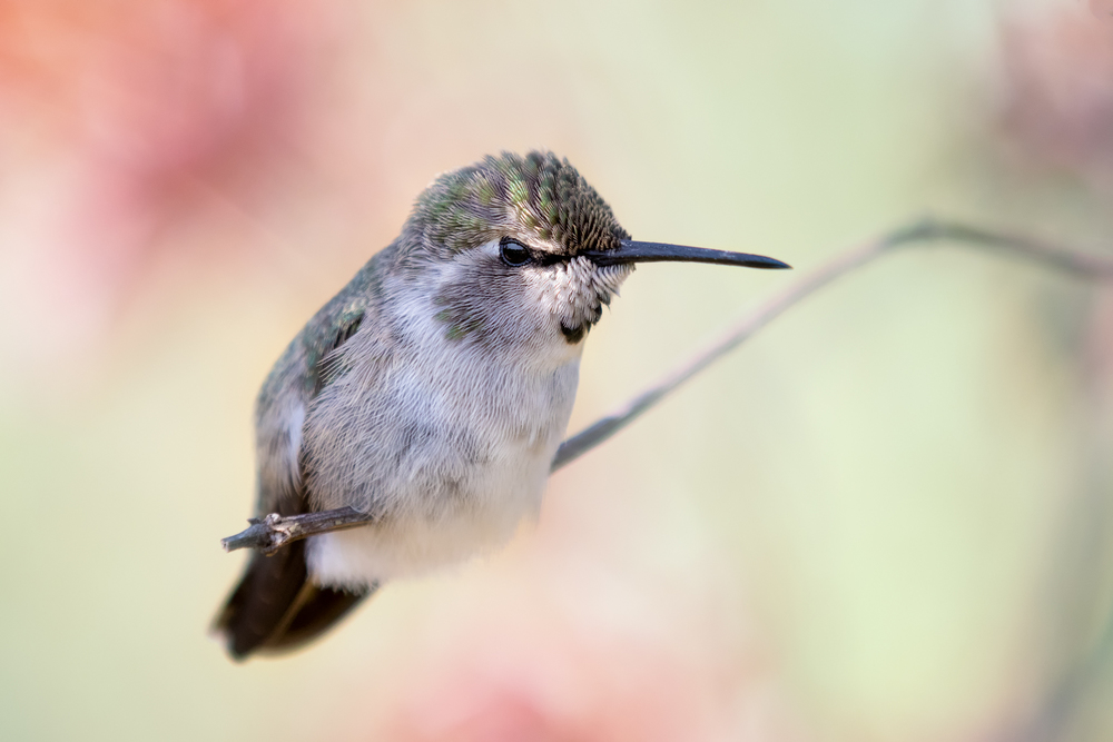 A female Anna's Hummingbird, just chilling in the summer heat.