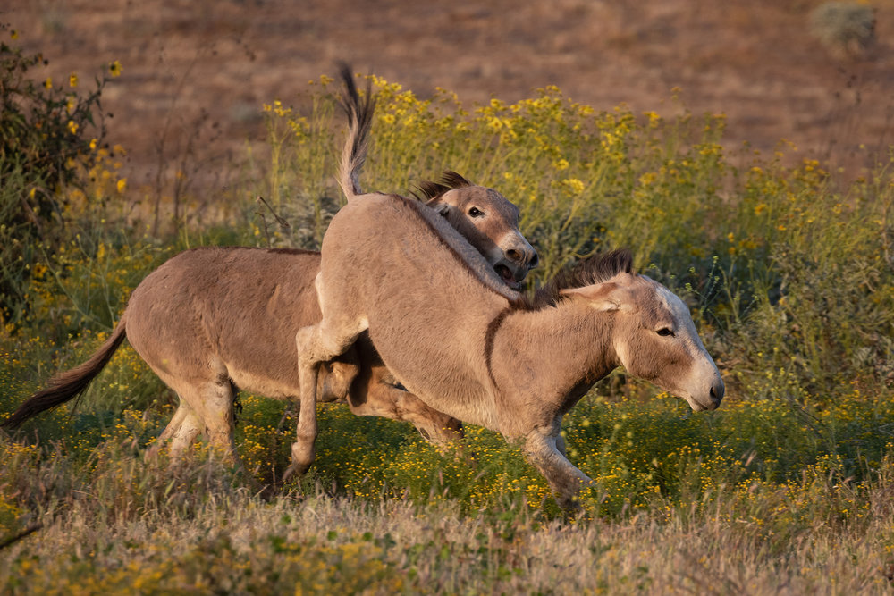 "These ""jacks"" or male donkeys are sparring for a mate (or a ""jenny"".)"