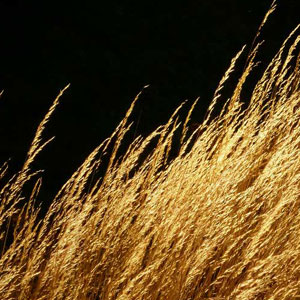 golden_grass_.jpg