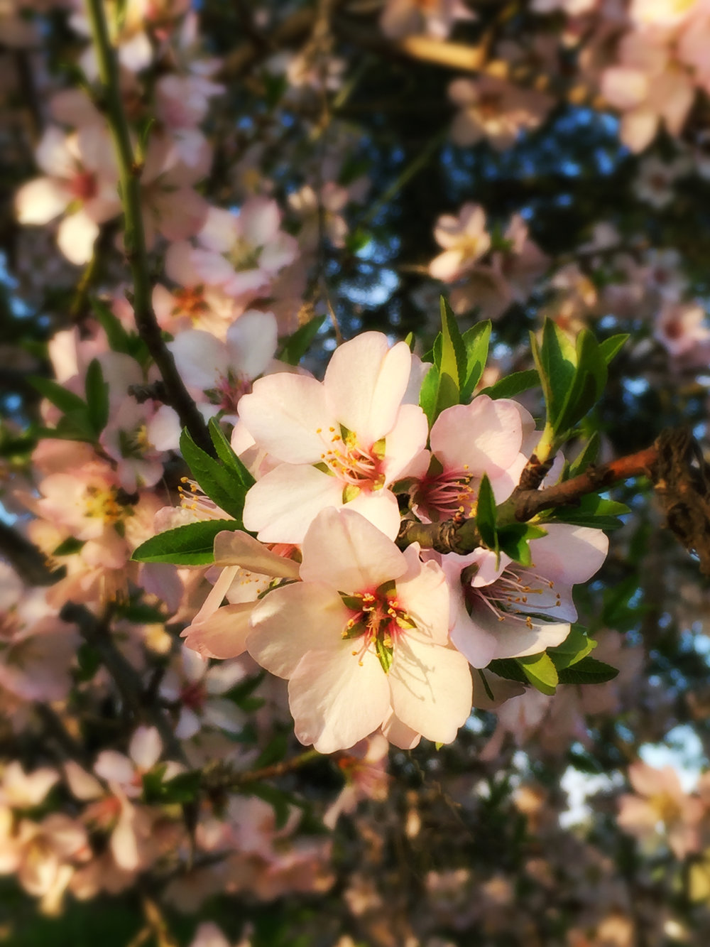 Almond trees are starting to bloom...Spring is on the way!