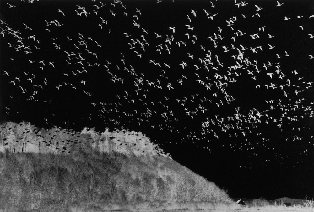 Bird Migration  , Quebec, 1988   Negative gelatin silver print    ©Judy Ellis Glickman. All Rights Reserved